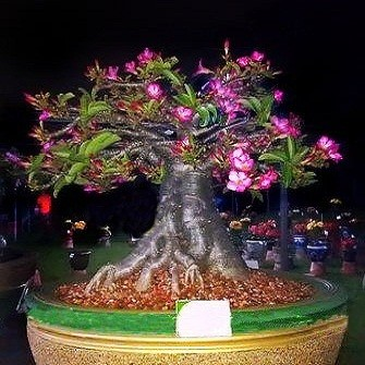 Adenium Thai Socotranum KHAO HIN SON (семена)