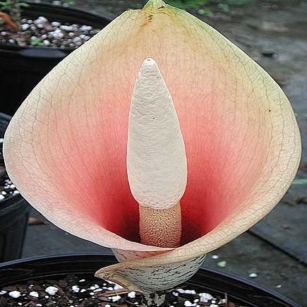 Amorphophallus BULBIFER или Аморфофаллюс