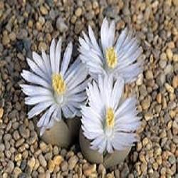 Lithops FULLERI или Литопс Фуллера (семена)