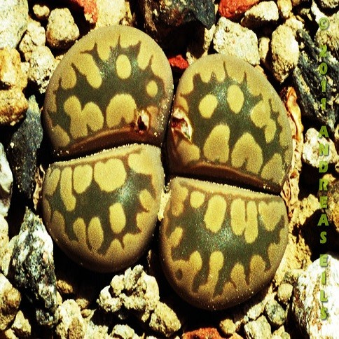 Lithops OTZENIANA или Литопс Отзена (семена)