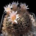 Mammillaria APPLANATA или Маммиллярия