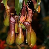 Nepenthes MADAGASCARIENSIS или Непентес (семена)