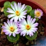 Ophthalmophyllum TRIEBNERI или Офтальмофиллум Требнера