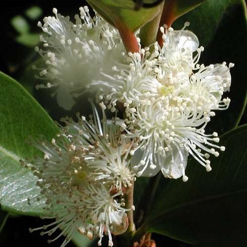 Psidium CATTLEIANUM или Гуава Земляничная (семена)