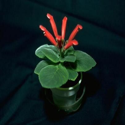 Sinningia CARDINALIS или Синнингия Красная (семена)
