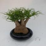 Yucca ALOIFOLIA или Юкка Алоэлистная