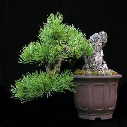 Pinus NIGRA или Сосна Черная (семена)