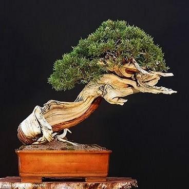 Pinus MUGO PUMILIO или Сосна Горная (семена)