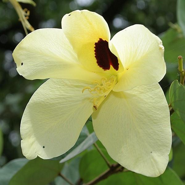 Bauhinia TOMENTOSA или Баухиния Войлочная (семена)
