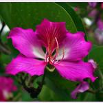 Bauhinia PURPUREA или Баухиния Пурпурная