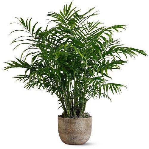 Chrysalidocarpus LUTESCENS или Хризалидокарпус (семена)