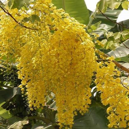 Cassia FISTULA или Кассия Трубчатая (семена)