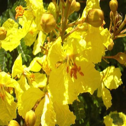 Peltophorum DUBIUM или Пелтофорум Крылатоплодный (семена)