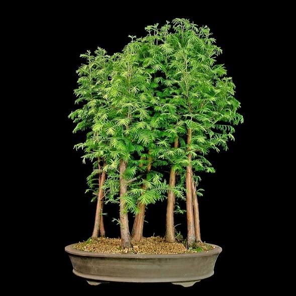 Metasequoia GLYPTOSTROBOIDES или Метасеквойя Китайская (семена)