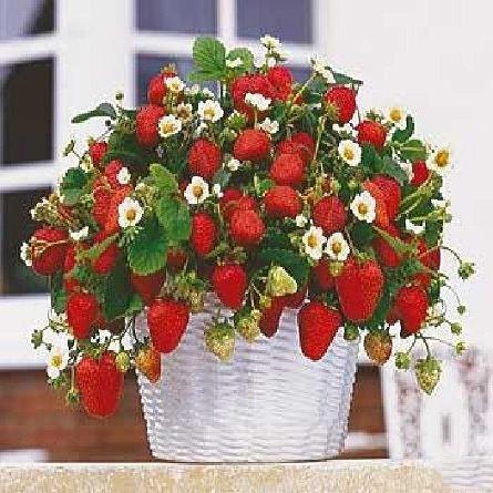 Strawberry Climbing RED или Земляника Ремонтантная (семена)