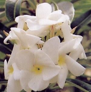 Pachypodium LAMEREI или Пахиподиум Ламера (семена)