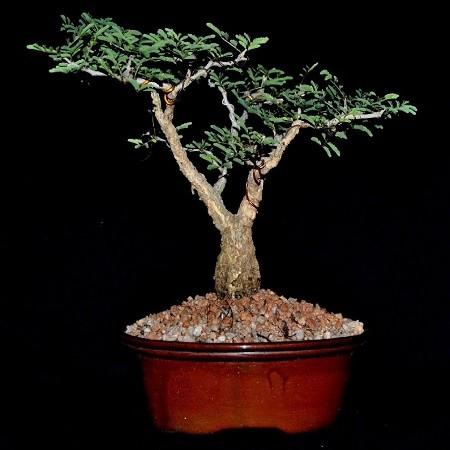 Acacia SENEGAL или Акация Сенегальская (семена)