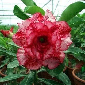 Adenium Obesum Triple Flower KO-21 (семена)