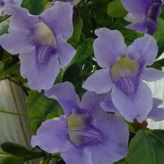 Thunbergia GRANDIFLORA или Тунбергия Крупноцветковая (семена)