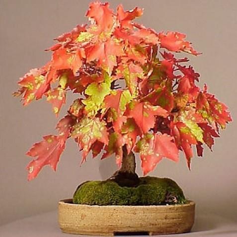 Acer RUBRUM или Клен Красный (семена)