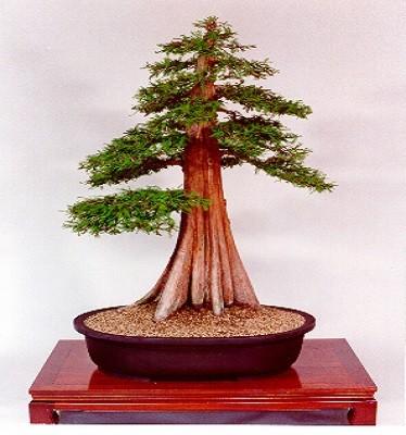 Taxodium MUCRONATUM или Таксодиум Мексиканский (семена)