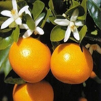 Citrofortunella MICROCARPA или Цитрофортунелла (семена)