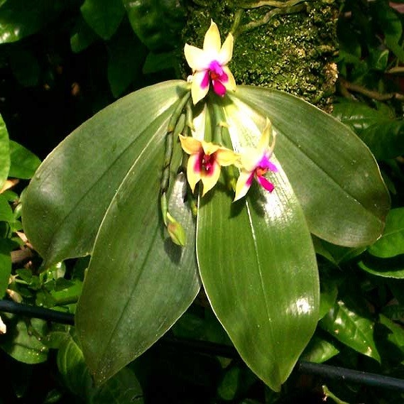 Phalaenopsis BELLINA или Фаленопсис Беллина (семена)