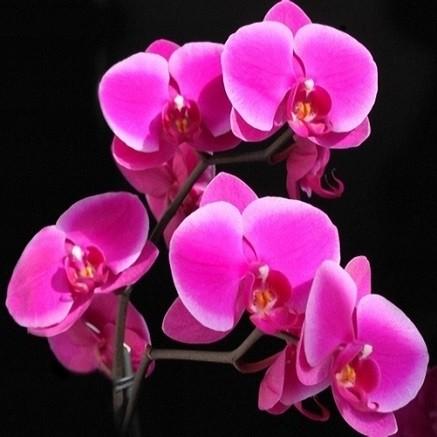 Phalaenopsis PINK или Фаленопсис Розовый (семена)