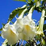 Brugmansia CANDIDA