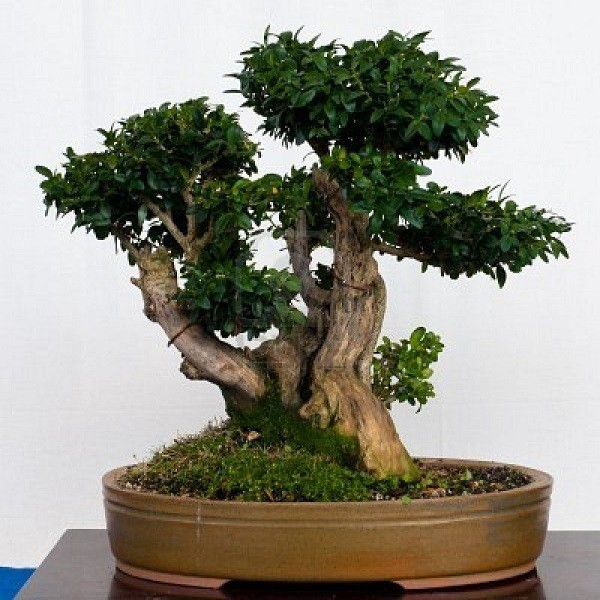 Buxus MICROPHYLLA или Самшит Мелколистный (семена)