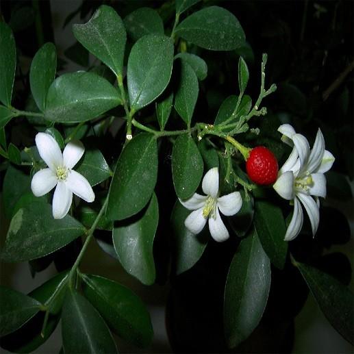 Муррайя Метельчатая (растение)
