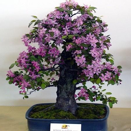 Malus PUMILA или Яблоня Райская (семена)