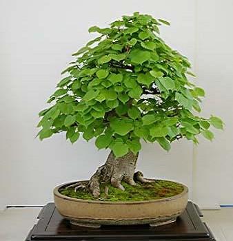 Tilia CORDATA или Липа Сердцелистная (семена)