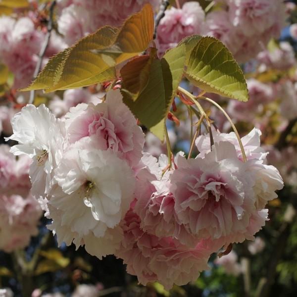 Prunus SUBHIRTELLA или Слива Косматая (семена)
