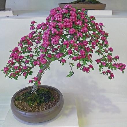 Crataegus MONOGYNA или Боярышник Однопестичный (семена)