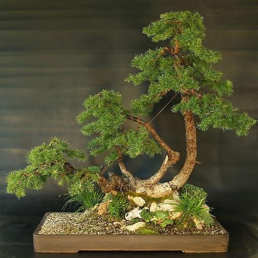 Larix KAEMPFERI или Лиственница Японская (семена)