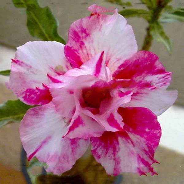 Adenium Obesum Double Flower CANDY BERRY (семена)