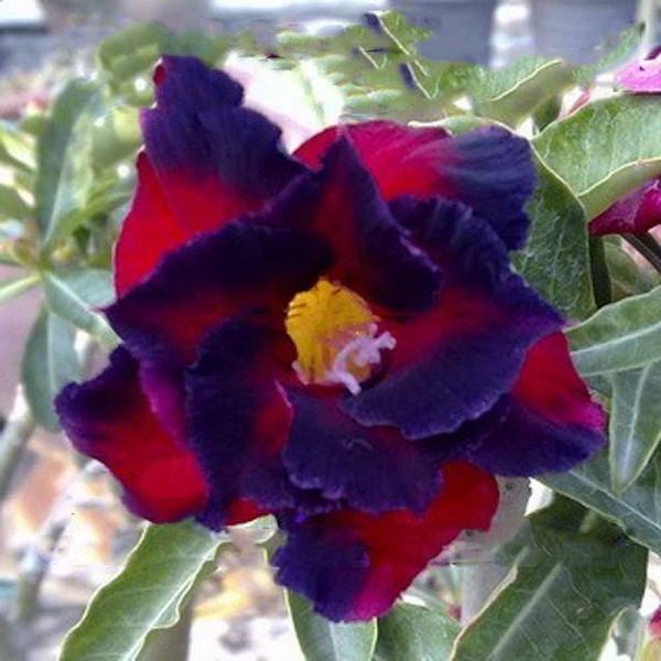 Adenium Obesum Double Flower GARNET (семена)