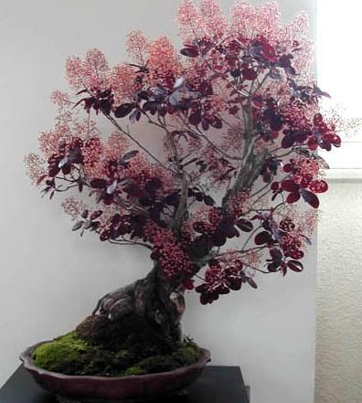 Cotinus COGGYGRIA PURPLE или Скумпия Кожевенная (семена)