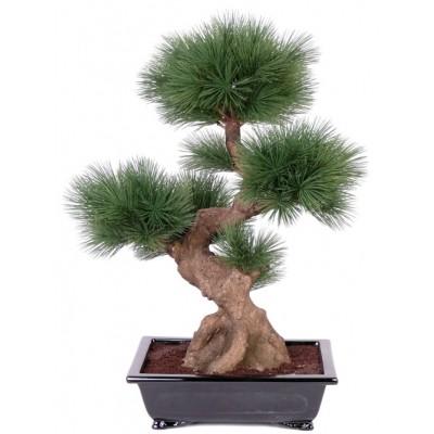 Pinus WALLICHIANA или Сосна Гималайская (семена)