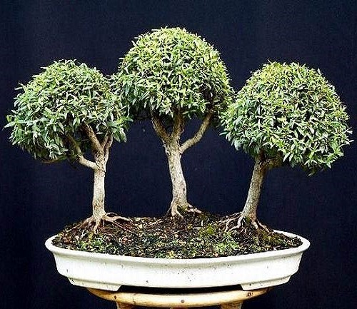 Myrtus COMMUNIS или Мирт Обыкновенный (семена)