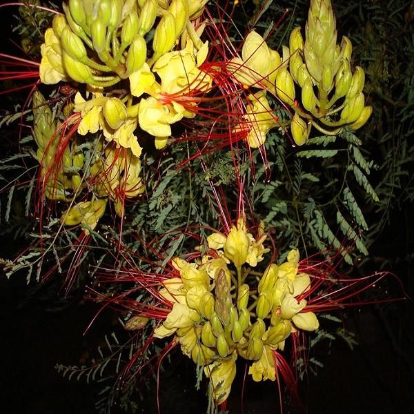 Caesalpinia GILLIESII или Цезальпиния Гиллиса (семена)