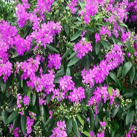 Tibouchina GRANULOSA или Тибучина Зернистая (семена)