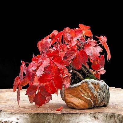 Parthenocissus TRICUSPIDATA или Девичий Виноград (семена)