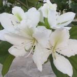 Bauhinia ALBA или Баухиния Белая
