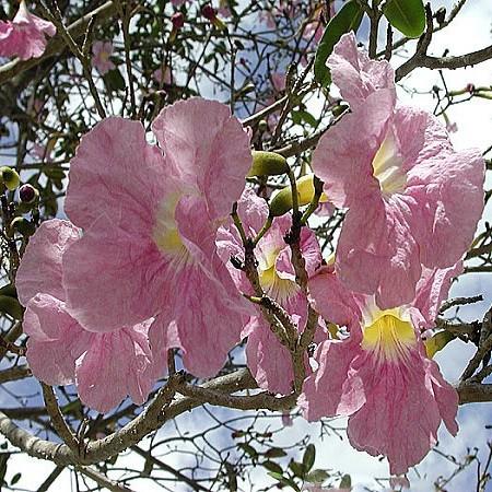 Tabebuia ROSEA или Табебуйя Розовая (семена)