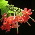 Bauhinia GALPINII или Баухиния Настурциевая