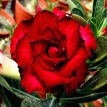 Adenium Obesum Triple Flower KO-14 (семена)