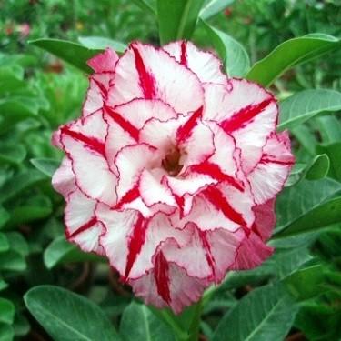 Adenium Obesum Triple Flower KO-36 (семена)