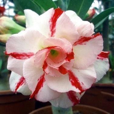 Adenium Obesum Triple Flower KO-03 (семена)